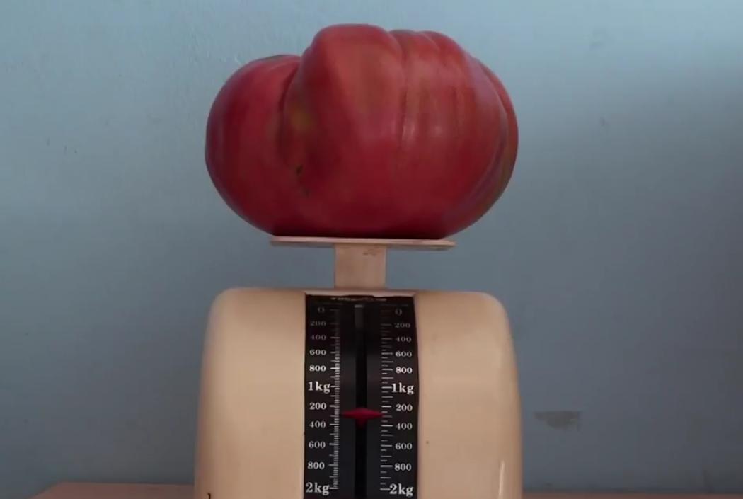 tomate enorme monstruoso