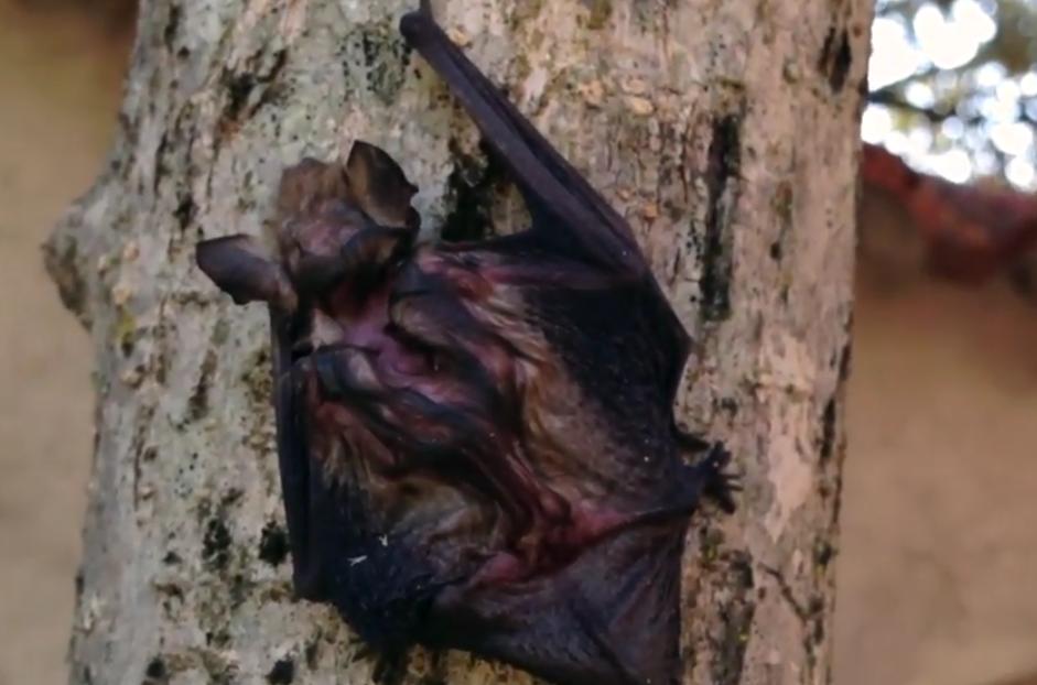 rescatar murciélado de la piscina