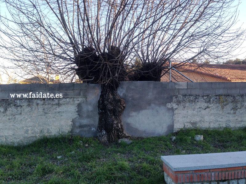 un árbol enorme atravesando una pared de piedra